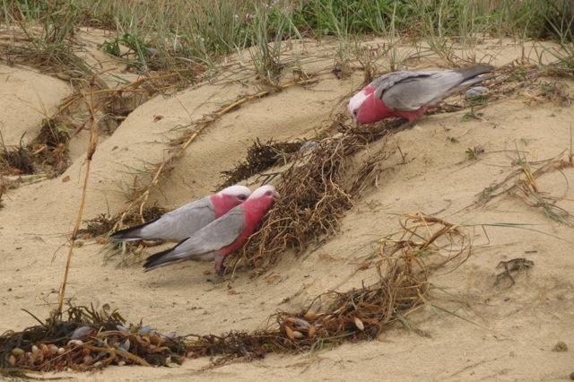 galahs feeding on freshly salted grasses