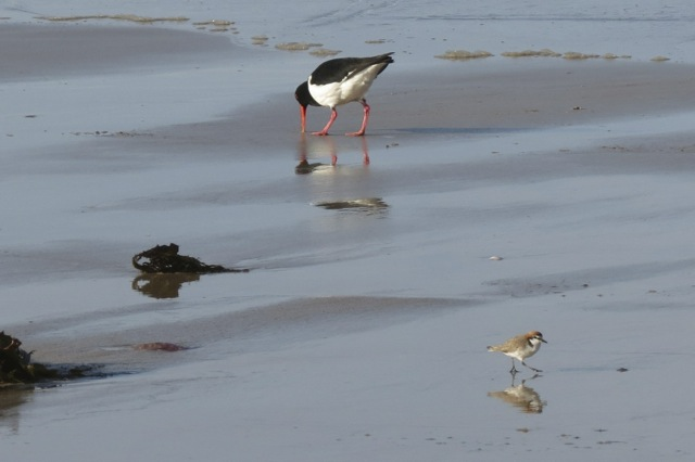 Red-capped Plover and Pied Oystercatcher