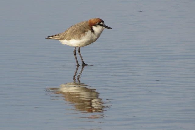 male breeding plumage