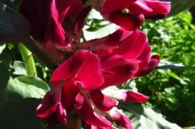 red broad bean flowers