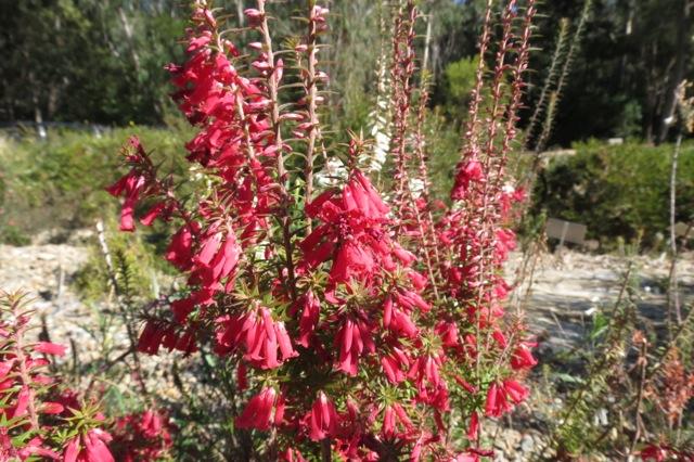 epacris flowers