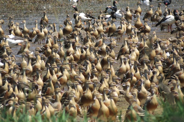 an infinite number of whistling ducks