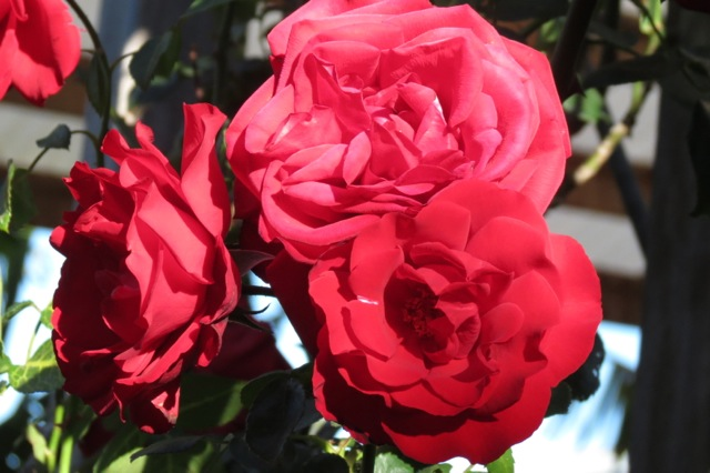 Dublin Bay roses