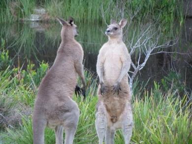 male kangaroos sparring