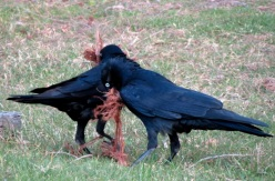 ravens with nesting material