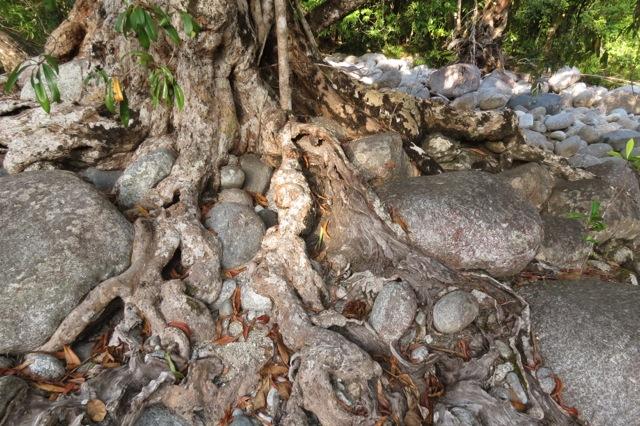 melaleuca roots and river rocks Mossman Q