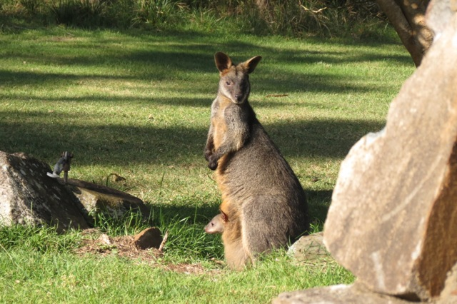 Black Swamp Wallaby and joey under the Mulberry tree