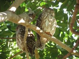 Barking Owls