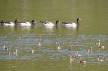 Magpie Geese, Australasian Grebe