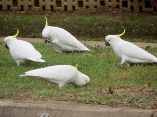 sulphur-crested cockatoos