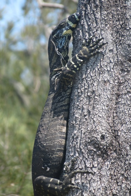 lace monitor up a tree
