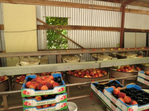 sorting peaches