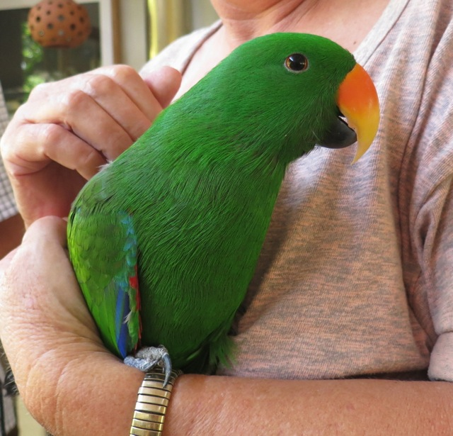 Charlie the Eclectus parrot