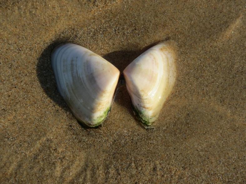 large pipi shell