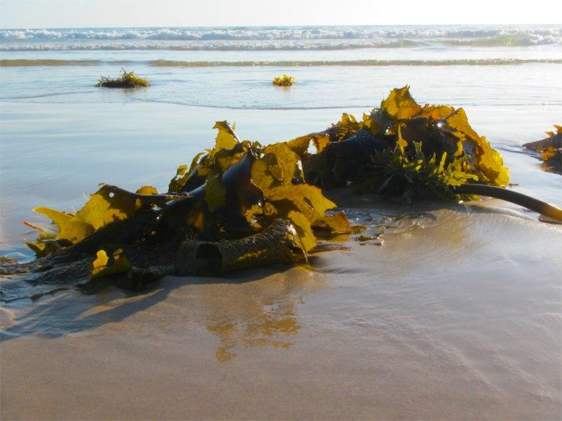 common kelp