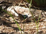 male Superb Blue Wren