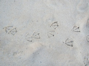 cormorant tracks