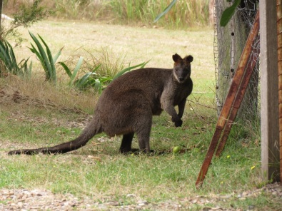 the old Black Swamp wallaby