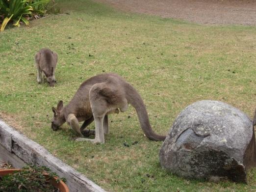 attractive male Grey kangaroo