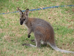 baby Red-necked wallaby