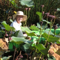 Harvesting Lotus Pods