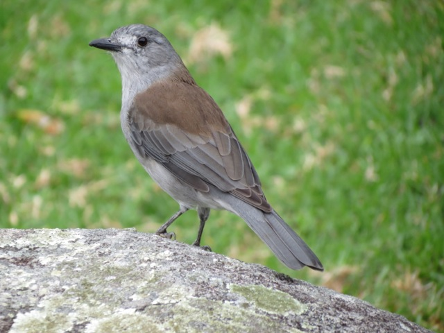 Grey Shrike Thrush