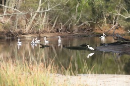 pelicans and Great Egret