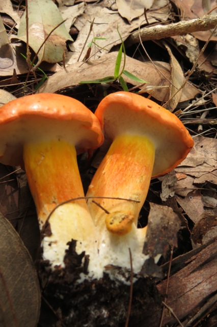 rich yellow boletes