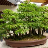 Bonsai and Penjing