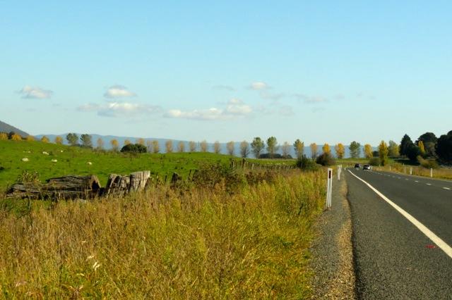 Golden Poplars near Braidwood