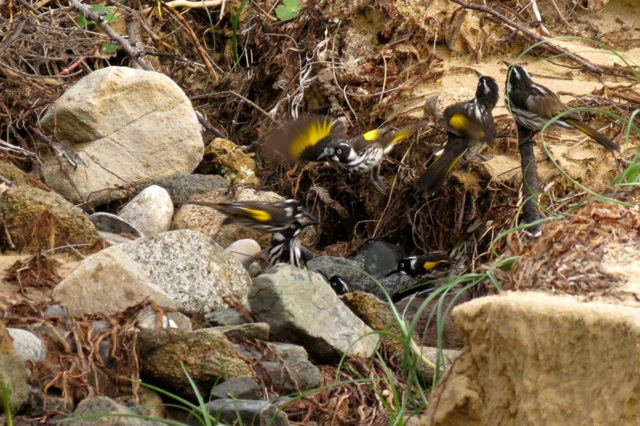 New Holland Honeyeaters bathing
