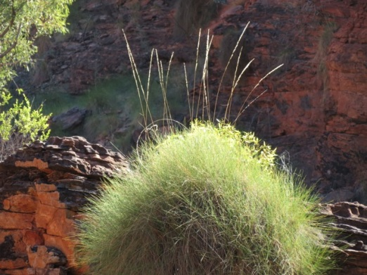 spinifex and red rock