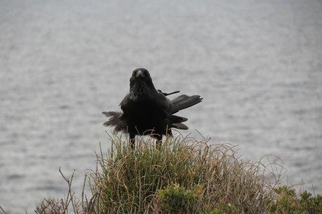 ruffled Australian raven