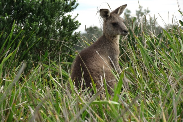 young male Eastern Grey kangaroo