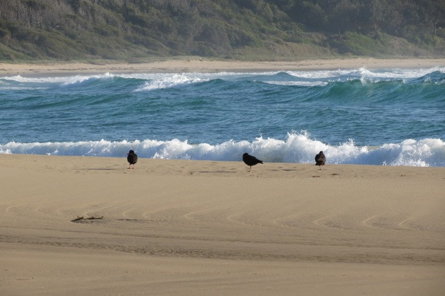 Sooty Oystercatchers on the beach