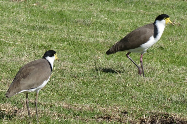 Masked Lapwing or Spurwinged Plover