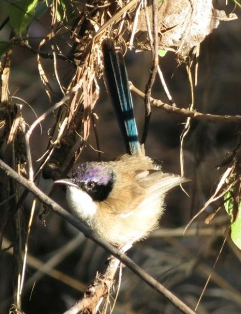 purple crowned wren